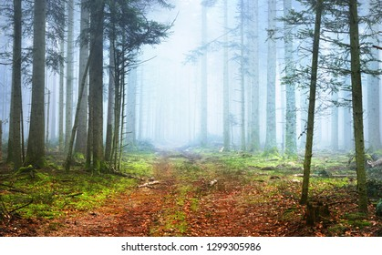 A path in a dark pine forest in mist. French Alsace, Vosges mountains