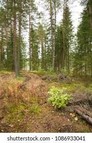 Path in a dense coniferous wood