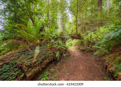 A path in the fairy green forest. Amazing forest of sequoia. Redwood national and state parks. California, USA
