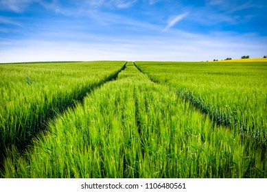 Path in field of barley, green fields and sky, spring landscape