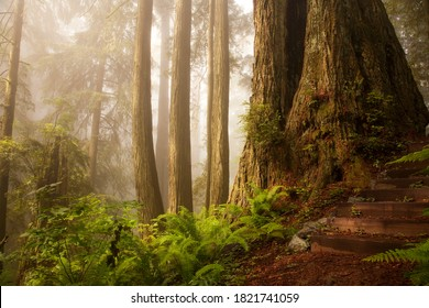 Path in the foggy redwood forest of the Del Norte Coast Redwoods State Park