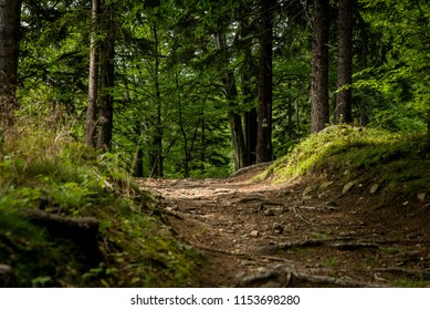 Path in forest.