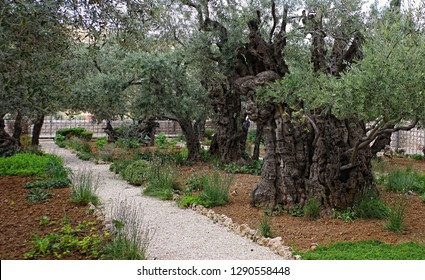 Path in the Gethsemane garden among very old olive trees on the Mount of Olives in Jerusalem in Israel where Jesus prayed night before his crucifixion