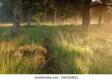 path in grass between pine trees at sunrise