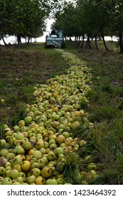 path of green apples on the ground