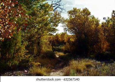Path into autumn cottonwood grove. Rio Grande Valley State Park, Albuquerque, New Mexico.