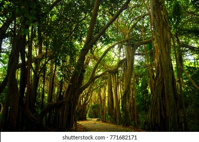 Path into the Bayan tree forest. Fregate island, Seychelles.