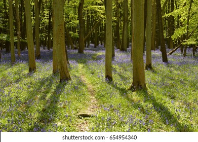 Path leading into a Bluebell forest. England, UK.