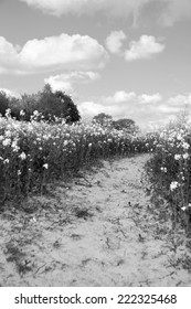 Path leading through a field of oilseed rape - monochrome processing