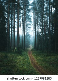 Path leading through a pine forest covered in fog. Long pine trees hidden by mist creating a moody atmosphere.
