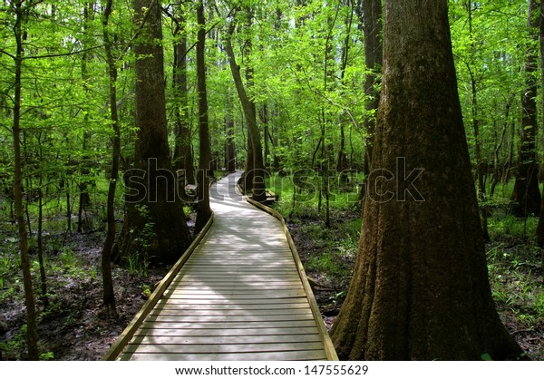 Path leading through the woods of the ancient moss covered Bald Cypress Trees at Congaree National Forest in South Carolina