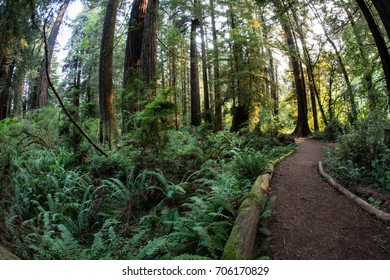 A path leads through ferns and Redwood trees growing in Redwood National Park, California. This lush, scenic area provides a home to the tallest trees on Earth mainly due to its unique climate.