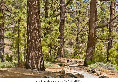 A path leads through a forest of Canarian pines, they have bristly distinctive tree barks with strong structure and evergreen fresh light green on the needles. On tenerife, near Vilaflor