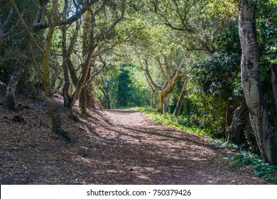 Path lined up with coastal live oak trees in Mission Trail Park, Carmel-by-the-Sea, Monterey Peninsula, California