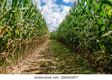 A path for a maze is cut out of a corn field with a blue sky filled with puffy cotton like cumulous clouds.