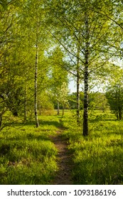 Path With New Green Grass And Young Birch With Leaves Grow In Birchwood In Park In Sunny Day On Spring.