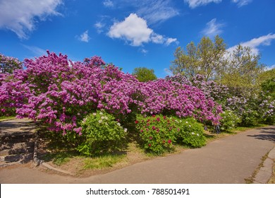 path in the park along the flowering lilac trees