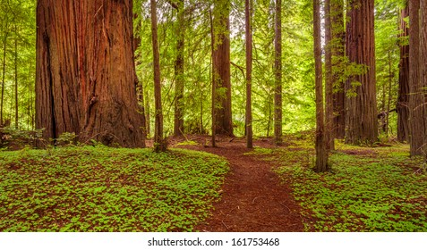 Path in the redwood national park, lush greens