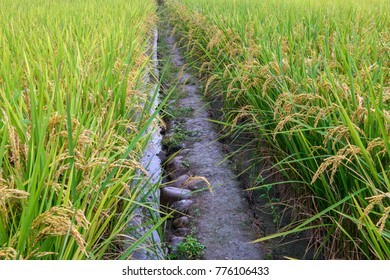 Path in rice field, Asia paddy field