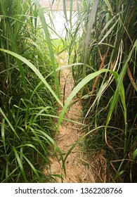 a path to river in Miscanthus floridulus bush