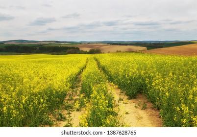 Path running across ripe rapeseed field