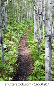 A path in some birch trees