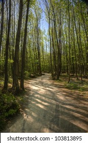 Path through beech tree forest in Spring