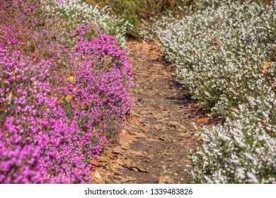 A path through blooming heather flowers in Isabella Plantation, a woodland garden in Richmond Park in London