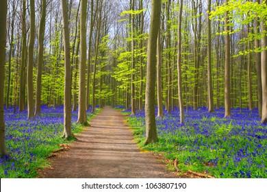 Path through bluebells carpets in springtime in Hallerbos forest, Belgium