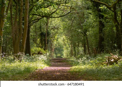 Path through British ancient woodland with dappled sunlight. Flowers line ride in springtime in Lower Woods, Gloucestershire, UK