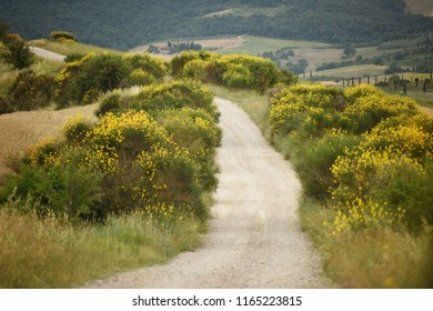 Path through the broom bush landscape in Tuscany, Italy