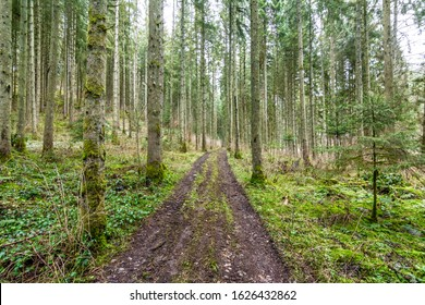 Path through coniferous trees in Black Forest