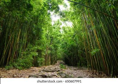 Path through dense bamboo forest, leading to famous Waimoku Falls. Popular Pipiwai trail in Haleakala National Park on Maui, Hawaii, USA
