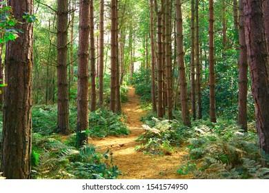 Path through a forest. bright sunlight through trees