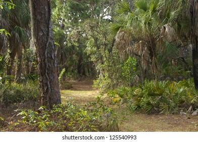 Path through a lovely palm and pine forest in western Florida