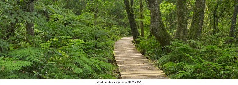 A path through lush temperate rainforest in the Garden Route National Park in South Africa.
