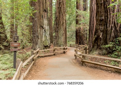 The path through the redwood tree Cathedral Grove in Muir Woods National Monument in California
