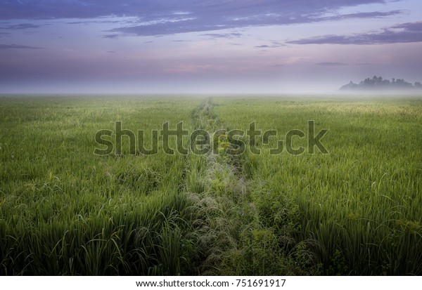 Path through a rice paddy field leading to nowhere, India