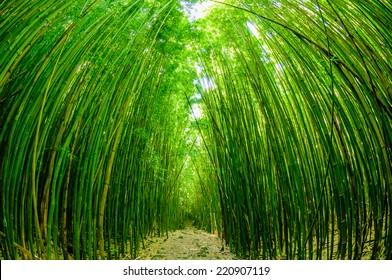 Path through a tall bamboo forrest on the Road to Hana on Maui, Hawaii, USA