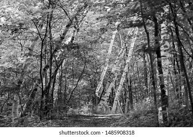 The path thru the birches in black & white