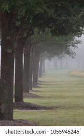 A path of trees lined up neatly in a row with a fog mist lying over them softly