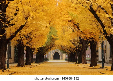 A path of two rows ginkgo biloba tree with many autumn yellow leaves in a university in Tokyo, Japan. The end of the path is the historical auditorium.