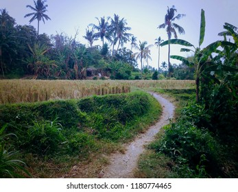 The Path Way To The Rice Field Of The Farming Area At Ringdikit Village, Buleleng Regency, North Bali, Indonesia