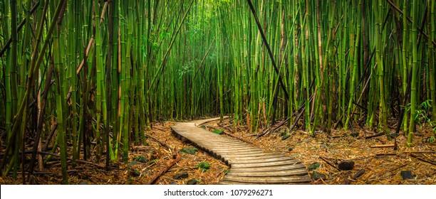 A path winds through a bamboo forest in Haleakala Maui, Hawaii.