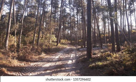 Paths of the pine forest