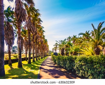 Pathway between Palm Trees in Columnar Joint Jeju Jungmun Park, South Korea.