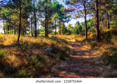 Pathway between pine trees in Carreiron natural park, Arousa Island, Galicia, Spain