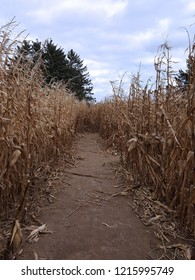 Pathway in a corn maze with corn stalks blowing in the wind, trees in the background, and fluffy clouds.