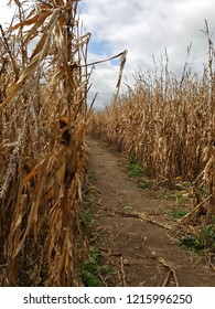 Pathway in a corn maze with corn stalks blowing in the wind and fluffy clouds in a blue sky.