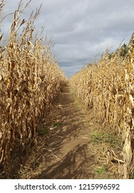 Pathway in a corn maze with corn stalks blowing in the wind.